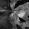 Frozen Leaf<br /> By Kelly<br /> Black and White Category<br /> Won 1st Place
