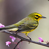 Prairie Warbler by Bruce<br /> Advanced Native Ohio Animals Category<br /> Won 1st place.