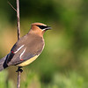 Cedar Waxwing by Bruce<br /> Advanced Native Ohio Animals Category<br /> Won 2nd place.
