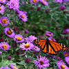 Monarch Butterfly<br /> By Kelly<br /> Native Ohio Animals Category<br /> Won Honorable Mention