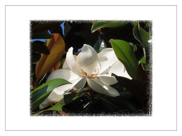 Florida Magnolia