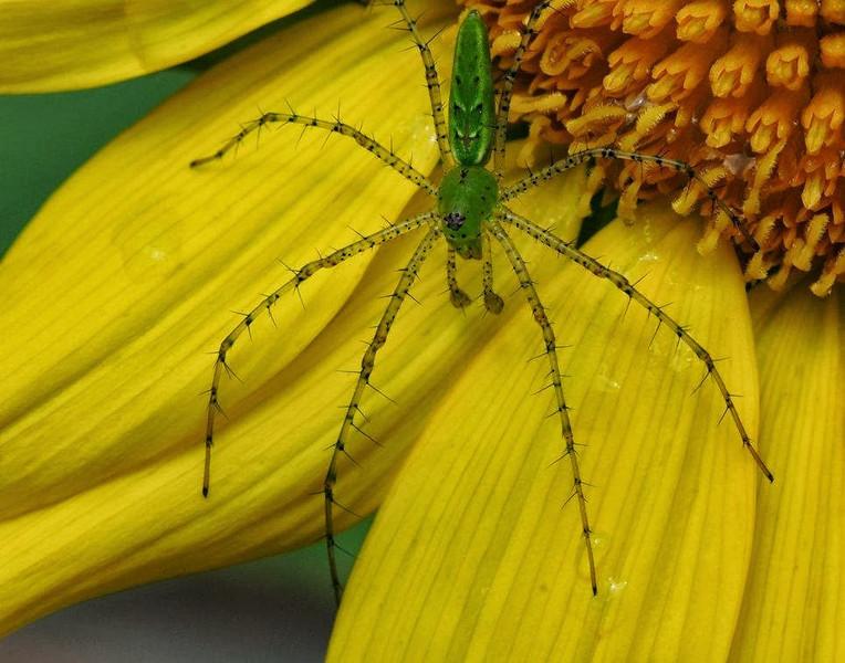 Macro-Class A-HM-Chris Christiansen-Green Spider