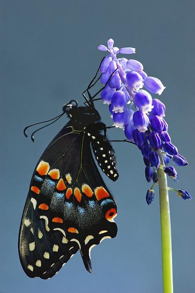 Macro-Class A-3rd-Jill Margeson-Black Swallowtail