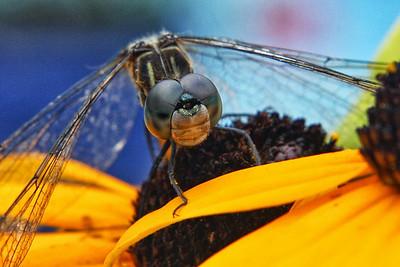 Macro-Class B-3rd-Pamela Wandrey-Dragonfly Meets Black-eyed Susan