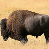 Parks-Class A-Jim Smith-Yellowstone Bison