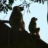 Parks-Class A-Scott Duvall-Baboons in Serengeti NP