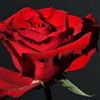 Open-Class A-Len Barnard-Valentine Rose