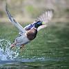 Open-Class A-Dave Verchick-Quack