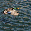 Stop Action-Class A-2nd-Brady Smith-Forward Flapping Mallard