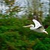 Stop Action-Class A-Gary Magee-White Pelican