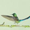 Stop Action-Class A-Chris Christiansen-Long Tailed Sylph