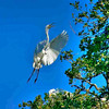 Stop Action-Class A-Gary Magee-Great Egret Flying