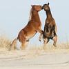 Stop Action-Class B-HM-Bill Newton-Banker Horses