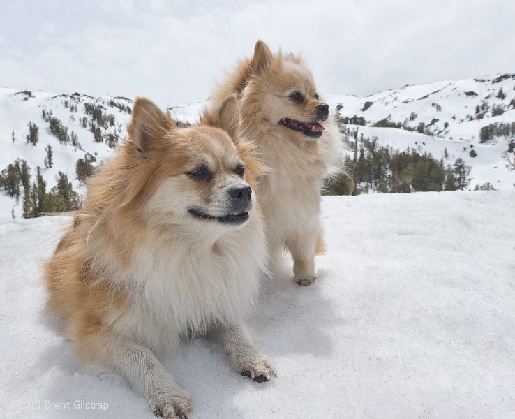 """""""Pommies at Sonora Pass""""<br /> Sonora Pass,<br /> Stanislaus National Forest<br /> <br /> Section: Professional Enlargements<br /> Class: Animals<br /> Place: -none-"""