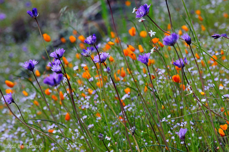 """""""Merced River Canyon Flowers"""" Merced River Canyon, Sierra National Forest  Section: Professional Enlargements Class: Flowers Place: <b><font color=""""red""""><u>2nd</font></u></b>"""