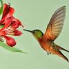 Wild Birds-HM-Chris Christiansen-Chestnut-breasted Coronet