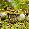 Wild Birds-HM-Matt Smith-Huey, Dewey, and Louie