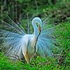 Wild Birds-HM-Len Barnard-Building My Nest