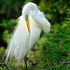 Wild Birds-1st-Dave Verchick-Great Egret
