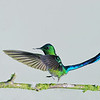 Wild Birds-3rd-Chris Christiansen-Long-tailed Sylph