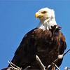 Wild Birds-Chuck Kersey-Bald Eagle