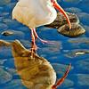 Wild Birds-HM-Bill Matthews-White Ibis