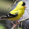 Wild Birds-Vera Denison-Lemon Wings with Licorice Trim