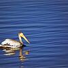 Wild Birds-Chuck Kersey-Pelican