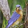 Wild Birds-Bill Newton-Blue Bird