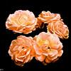 Vegetation-Creative-John German-Portland Rose