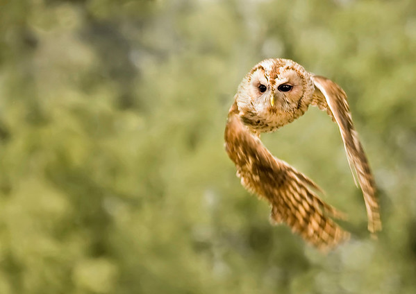 """Highly Commended - """"Tawny Owl"""" by Steven Harrison"""