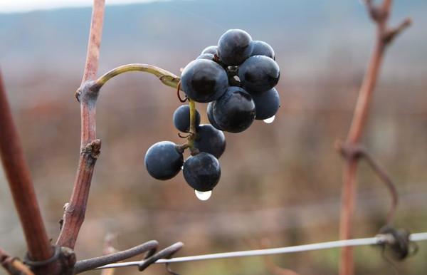 Eve Latulipe- grapes