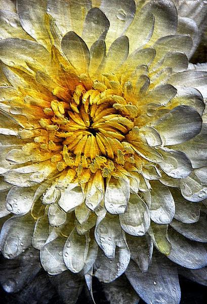 Wet Chrysanthum