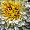 Wet Chrysanthum