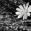 Casuarina sparkles and daisy