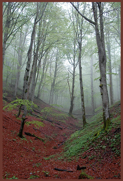 Beech Forest in Croatia