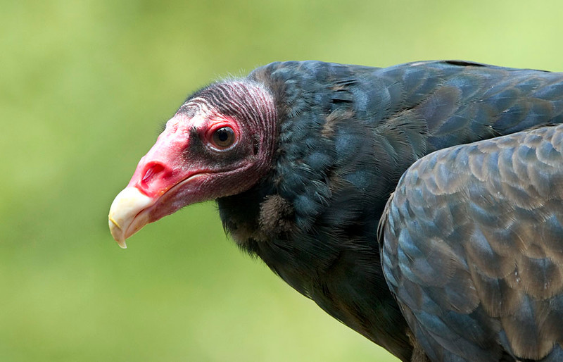 Vancouver Island Turkey Vulture