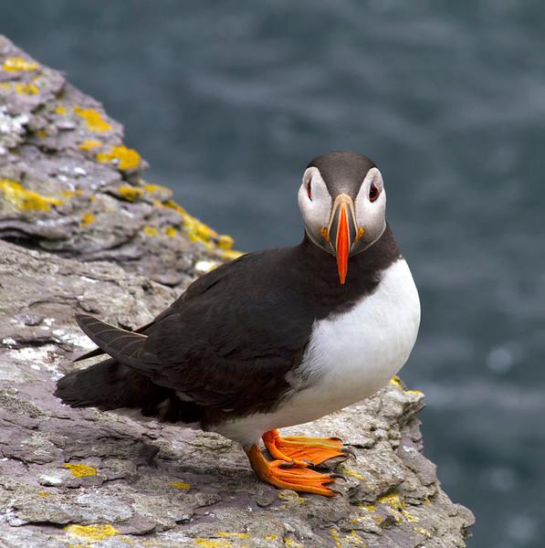 Skellig Island Puffin #2