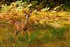 Michigan Deer 1