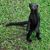 Costa Rica Wild Tayra