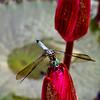 Nature - Class B - 2nd - Matt Smith - Dragonfly