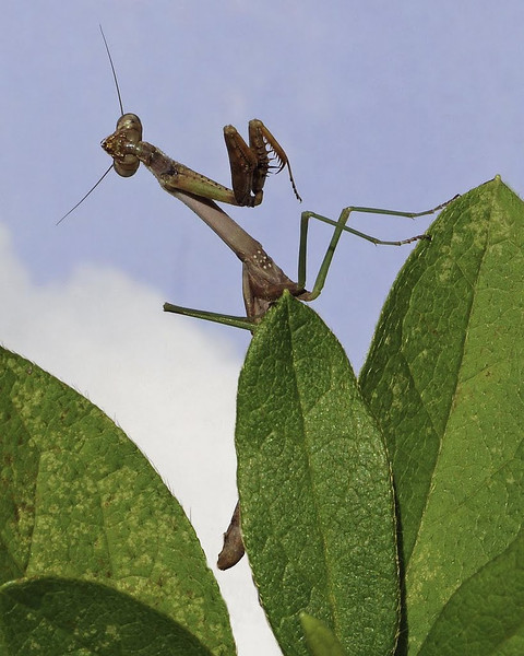 Nature - Class A - HM - Jill Margeson - Praying Mantis