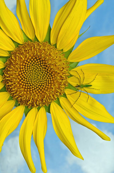 Nature - Class A - 2nd - Jill Margeson - Spider and Sunflower