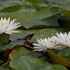 Nature - Class B - 1st - Gene Lentz - White Water Lilies with Lily Pads