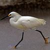 Nature - Class A - Gary Magee - Snowy Egret