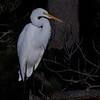 Nature - Class A - Don Hiscott - Snowy Egret 2