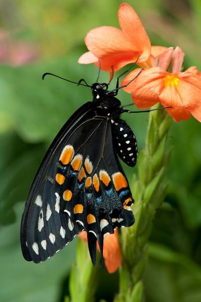 Nature - Class A - Chris Christiansen - Black Swallowtail