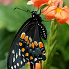 Nature - Class A - Chris Christiansen - Black Swallowtail