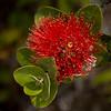 Nature - Class A - Marilyn Owen - Lehua Blossom