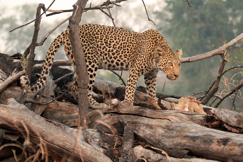 Annie Nash - Wild leopard on a kill 2